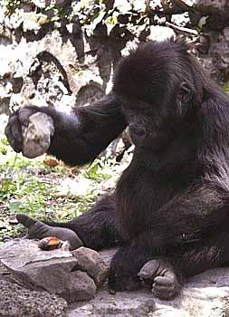 aap oftewel chimpansee